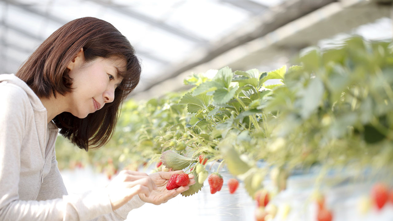 Woman harvests strawberries in greenhouse