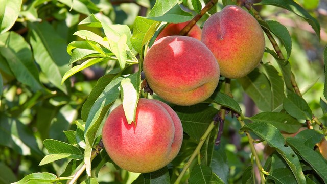 August is Peachy: Let's Celebrate This Favorite Fruit