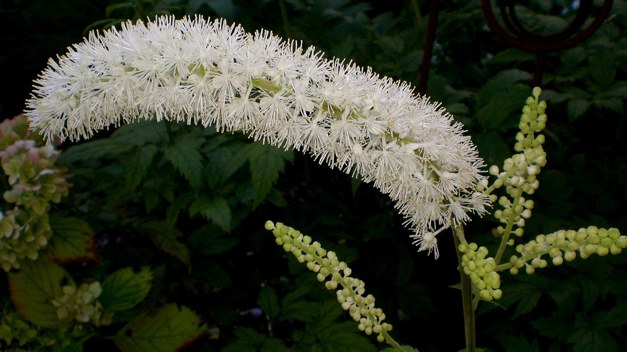 Flowering Black Cohosh Plant