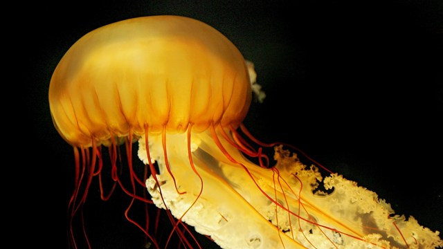 Perils of the Sea: Treatments for Jellyfish Stings