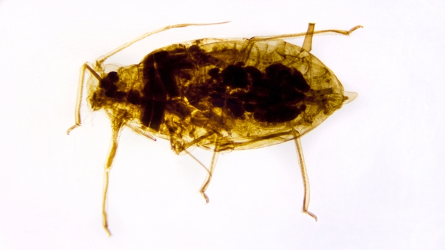 Head Lice related image