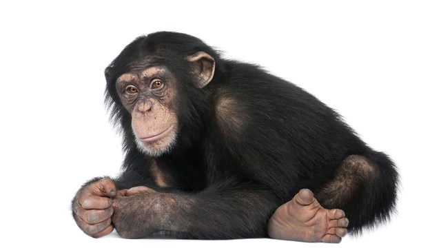 chimps no longer to be used in research: what do you think about animal experime