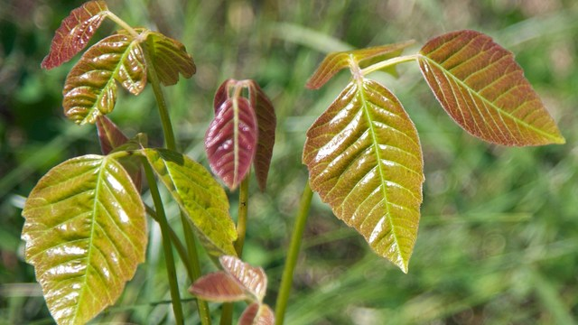 poison ivy, oak and sumac: avoiding that awful itch