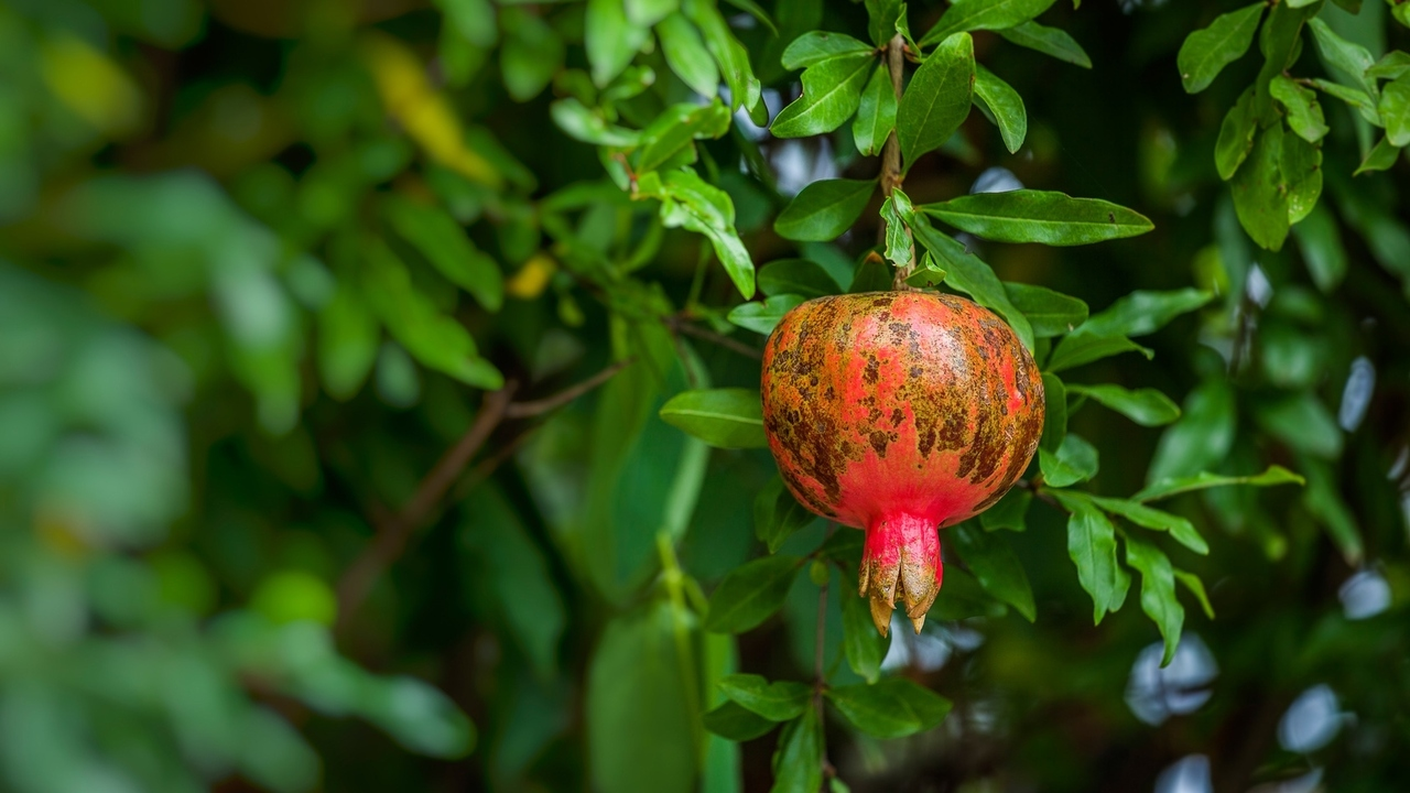 Pomegranate Pessary and Wandering Womb: A History of Gynecology
