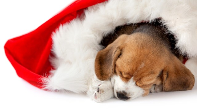 pets as surprise Christmas presents is a bad idea